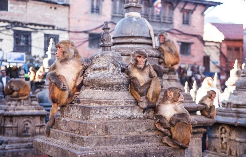 Новости из Непала - обезьянки в Катманду