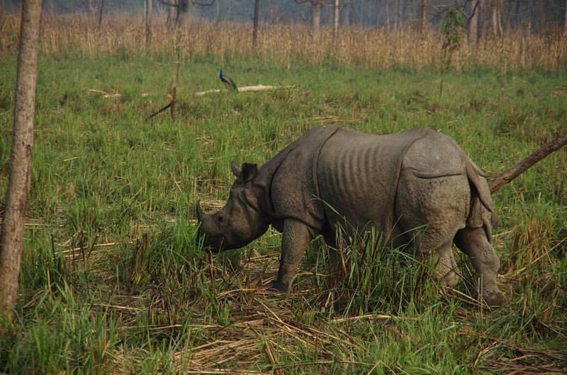 Носорог в парке Читван