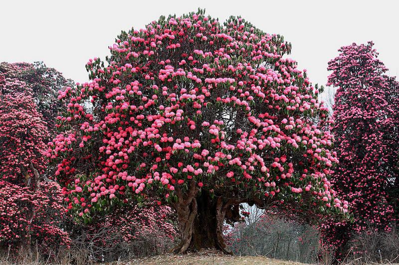 Рододендрон в Непале весной