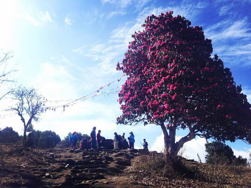 Цветущий рододендрон в Непале