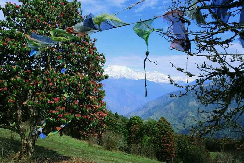 Цветущие рододендроны в Непале